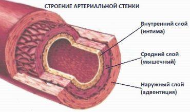 Строение стенки артерии мышечного типа