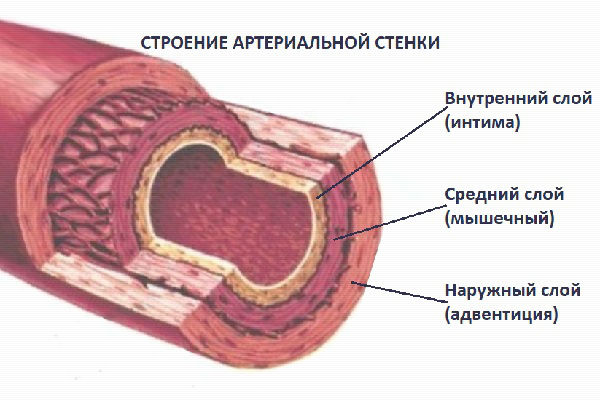 Схематическое изображение строения артериальной стенки, энциклопедия Medclic.ru