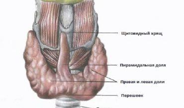 Щитовидная железа: анатомия