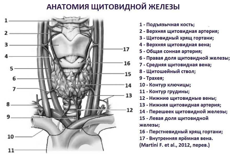 Топографическая анатомия щитовидной железы и сосуды, медицинская энциклопедия resursor.ru